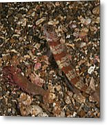 Striated Goby And Blind Shrimp, North Metal Print