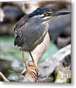 Striated Heron Metal Print by Fabrizio Troiani