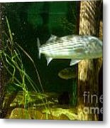 Striped Bass In Aquarium Tank On Cape Cod Metal Print