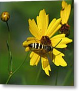 Striped Bee On Wildflower Metal Print