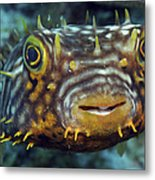 Striped Burrfish On Caribbean Reef Metal Print