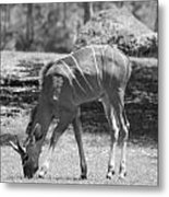 Striped Deer In Black And White Metal Print