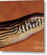 Striped Lateral Fold Lizard Metal Print