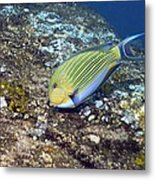 Striped Surgeonfish Metal Print by Georgette Douwma