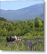 Sugar Hill Horse Tour And Lupines Metal Print