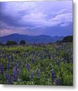 Sugar Hill Lupines Thunderstorm Clearing Metal Print