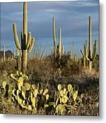 Suguaros At Sunset Metal Print