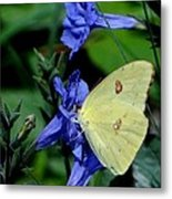 Sulphur Butterfly On Wildflower Metal Print
