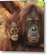 Sumatran Orangutan Pongo Abelii Mother Metal Print