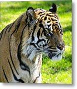 Sumatran Tiger Portrait  Metal Print