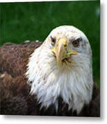 Summer Bald Eagle  Metal Print