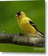 Summer Joy - Male Gold Finch Metal Print by Inspired Nature Photography Fine Art Photography
