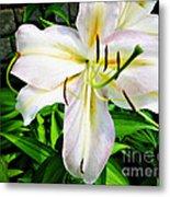 Summer White Madonna Lily Metal Print