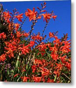 Montbretia, Summer Wildflowers Metal Print