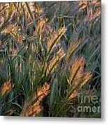 Sun Kissed Grass Metal Print