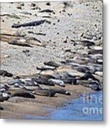 Sunbathing Elephant Seals Along A Beach At Point Reyes California . 7d16065 Metal Print