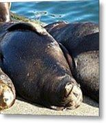 Sunbathing Sea Lions Metal Print