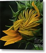 Sunflower 2012 Metal Print