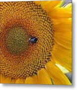 Sunflower And A Bumblebee Metal Print