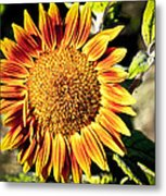 Sunflower And Bud Metal Print
