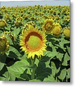 Sunflower And Honeybees July Two K O Nine  II Metal Print