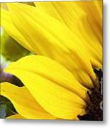 Sunflower Closeup In Landscape Metal Print