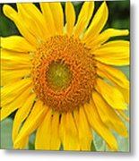 Sunflower Days Metal Print