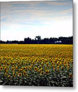Sunflower Farm In North Dakota Metal Print
