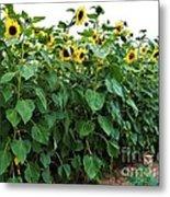 Sunflower Fields Forever   Four Metal Print