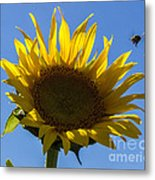 Sunflower For Snack Metal Print