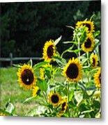 Sunflower Patch Metal Print by Debra     Vatalaro