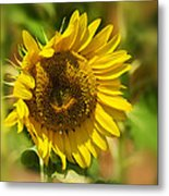 Sunflower Patch II Metal Print by Lisa Moore