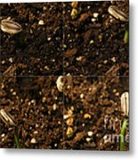 Sunflower Seedling Growth Sequence Metal Print