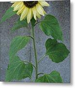 Sunflower Stalk  Metal Print