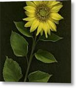 Sunflower With Rocks Metal Print