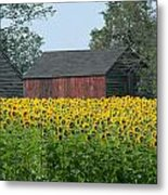 Sunflowers 8 Metal Print