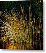 Sunlight On Grass Merritt Island Nwr Metal Print
