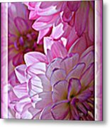 Sunlight Through Pink Dahlias Metal Print by Carol Groenen