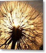 Sunlit Goatsbeard Seed Pod In Scenic Saskatchewan Metal Print