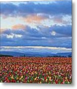 Sunrise Over A Tulip Field At Wooden Metal Print
