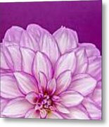 Sunset Dahlia 3 Metal Print