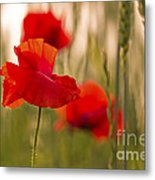 Sunset Poppies. Metal Print