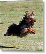 Super Yorkie Metal Print