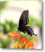 Swallowtail - Lite And Lively Metal Print