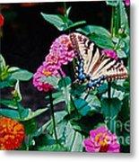 Swallowtail Among The Zinnias Metal Print