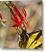 Swallowtail On Scarlet Gilia Metal Print