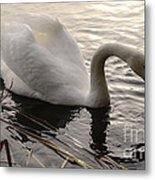 Swan Along The Shore Metal Print