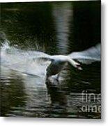 Swan In Motion Metal Print