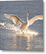 Swan Landing Metal Print