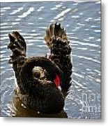 Swan Preening Its Feathers Metal Print